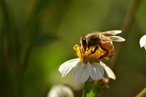 Insects, Bees, Wildflowers, Honeybee, Pollen, Wildlife