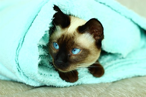 Siamese Cats, Cat, Turquoise, Overview