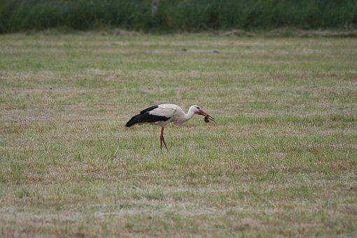 Stork, Mole, Birds, White Stork, Rattle Stork, Storks