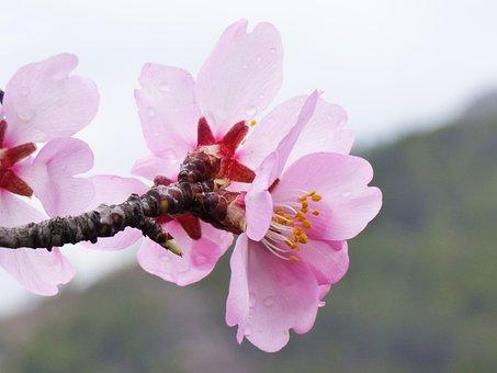 Almond Tree, Almond Flower, Flowery Branch, February