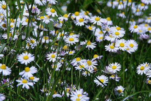 Daisy, Flower Meadow, Pointed Flower, Blossom, Bloom