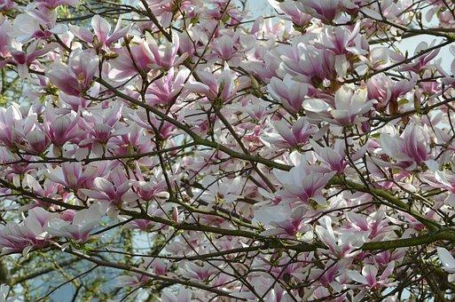 Magnolia, Tree, Spring, Blossom, Bloom, Magnolia Leaves