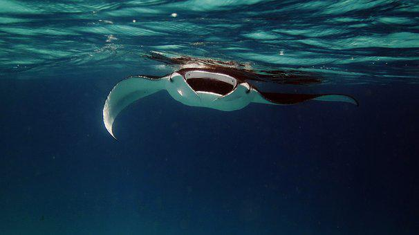 Manta, Manta Ray, Ray, Ocean, Sea, Underwater, Fish