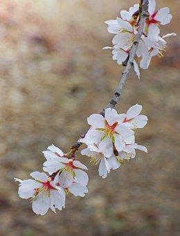 Flower, Flowery Branch, Almond Tree, Almond Flower