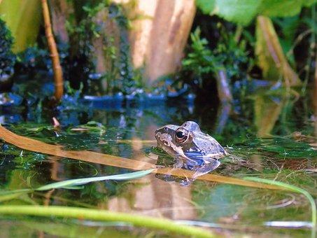 Frog Pond, Frog, Pond, Amphibian, Pools, Garden, Water