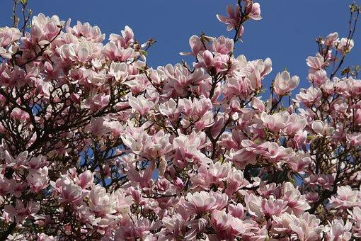 Magnolia, Tree, Frühlingsblüher