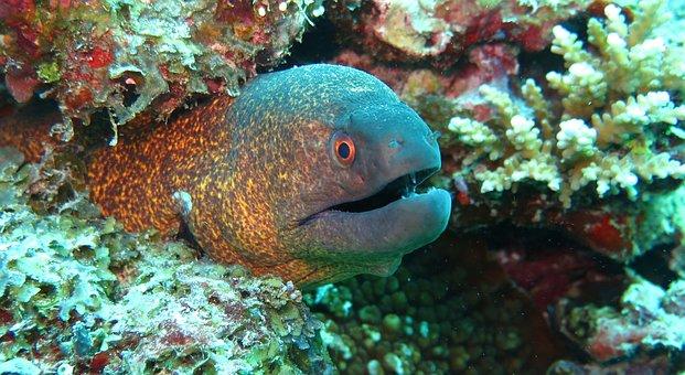 Moray, Eel, Fish, Sea, Ocean, Marine, Reef, Aquatic