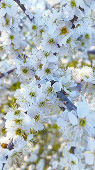 Cherry Blossoms, Flowers, Spring, White, Macro, Cherry