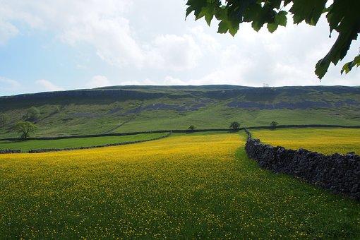 Buttercups, Stone Walls, Fields