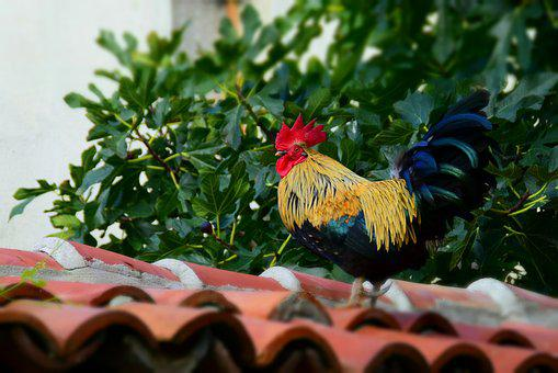 Hahn, Roof, Home, Animal, Chicken, Holiday, Bulgaria