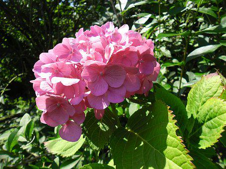 Hydrangea, Flower, Garden, Summer, Pink, Nature