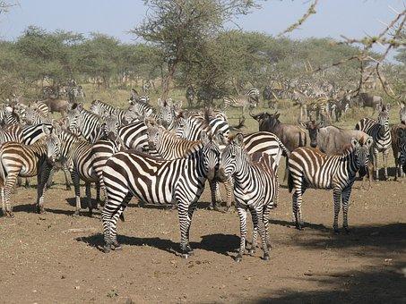 Zebra, Kenya, Masai Mara National Park, Prey, Animal