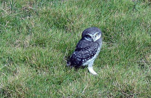 Bird, Owl, Spotted Owlet, Athene Brama, Nocturnal