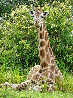 Giraffe, Young, African, Wildlife, Nature