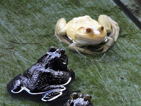 Frog, Albino