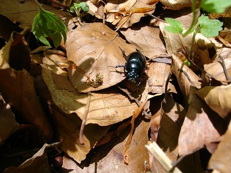 Beetle, Forest, Insect, Nature, Close, Dung Beetle
