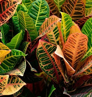 Croton Plant, Vibrant, Garden, Outdoors, Background