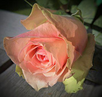 Floribunda, Single Bloom, Salmon, Pink, Large, Close