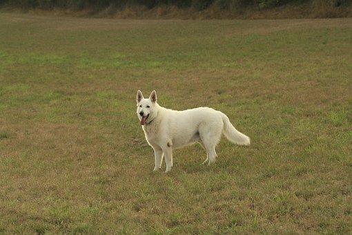 Dog, Field, Animal, Pet, Nature, Grass, Outdoor, Summer