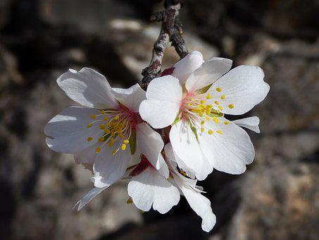 Almond Tree, Almond Flower, Flowers, February, Flowery