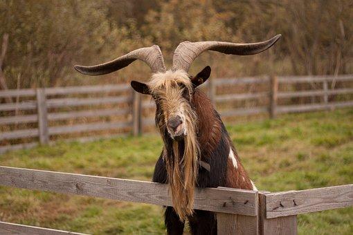 Goat, Goat Buck, Animal, Horns, Animal World, Face
