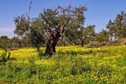 Olive Tree, Tree, Clover Flowers, Olive Grove, Flowers