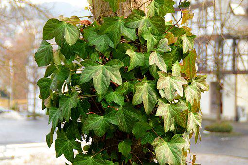 Ivy, Green, Climber, Leaves, Common Ivy, Entwine