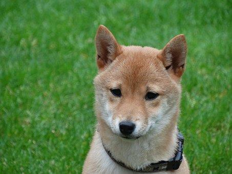 Dog, Remote Access, Shiba Inu, Pet, Portrait, Puppy