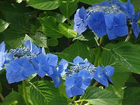 Hydrangea, Blue Flower, Blue, Plant