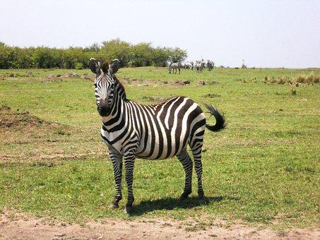 Zebra, Africa, Kenya, Safari, Nature, Wildlife