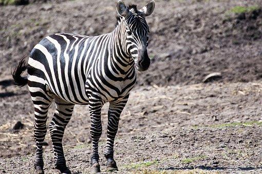 Zoo, Zebra, Animal
