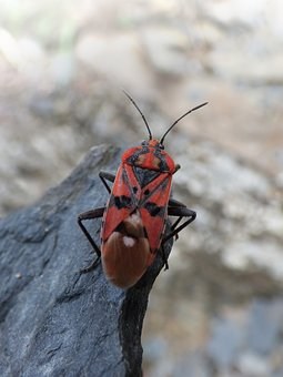 Insect, Beetle, Red And Black, Bug, Detail