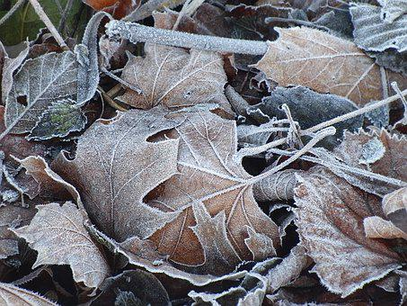 Frozen Leaves, Maple Leaves, Frost, Nature, Cold, Iced