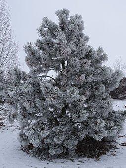Winter, Hoarfrost, Wintry, Tree, Cold