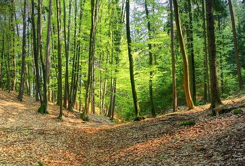 Forest, Spring, Nature, Beech, Tree, Green, Maiwald