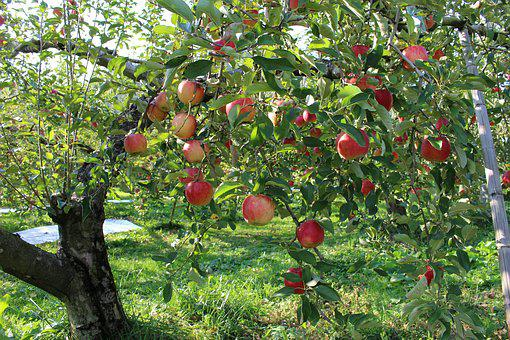 Apple, Orchard, Fruit, The Apple Tree