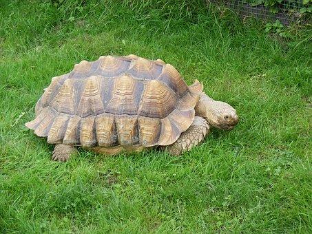 Tortoise, Pet, Turtle, Nature, Shell, Slow