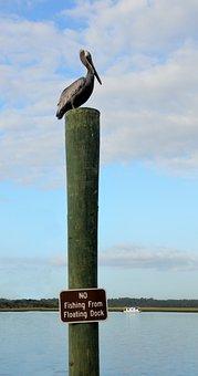 Pelican, Resting, Bird, Wildlife, Nature, Waterbird