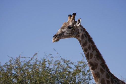 Giraffe, Namibia, Nature, Africa, Animals, Safari