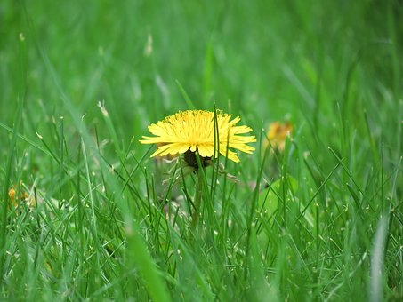 Meadow, Buttercup, Flower, Summer, Blossom, Bloom