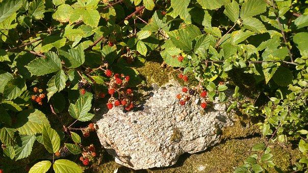 Blackberry, Berry, Shrubs, Swedish Berries, Nature