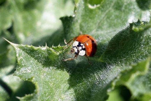 Nature, Ladybug, Macro, Insect, Field