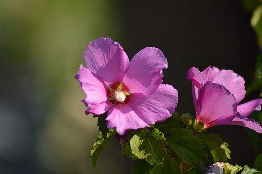 Hibiscus, Nature, Flower, Magenta, Plant