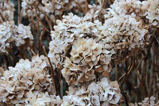 Hydrangea, Faded, Plant, Garden, Withered, Bush, Spring