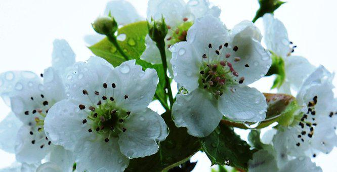 Pear Flower, Orchard, Spring
