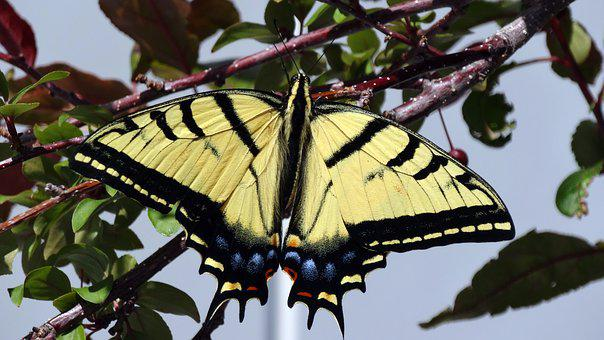 Butterfly, Monarch Butterfly, Insect, In Tree, Spring