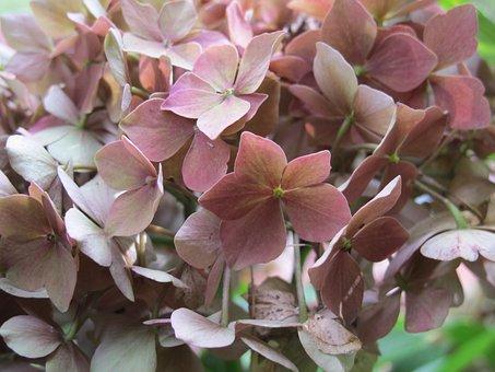 Hydrangea, Flower, Nature, Flora, Garden, Summer