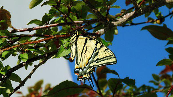 Butterfly, Monarch, Monarch Butterfly, Insect, Bug