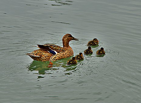 Ducks, Chicken, Nature, Wildlife Photography, Young