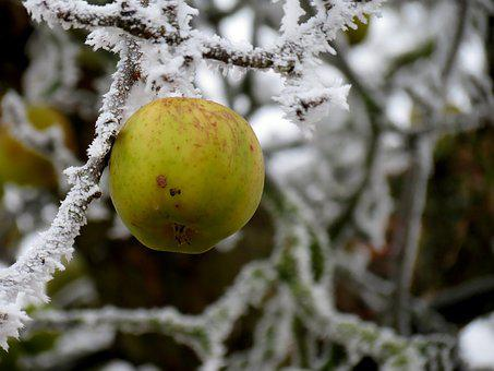 Apple, Winter, Ripe, Hoarfrost, Nature, Cold, Fruit